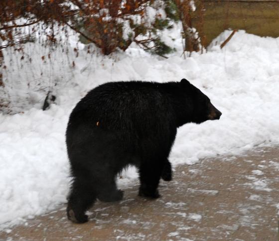 whistler bear