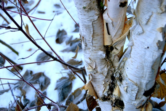 whistler, birch tree, texture