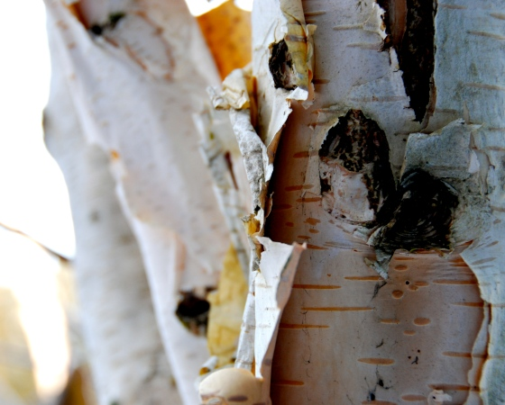 birch bark texture, whistler,