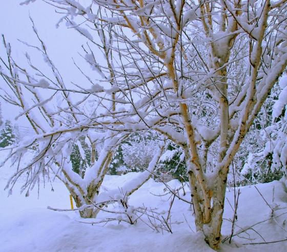 birch tree, whistler