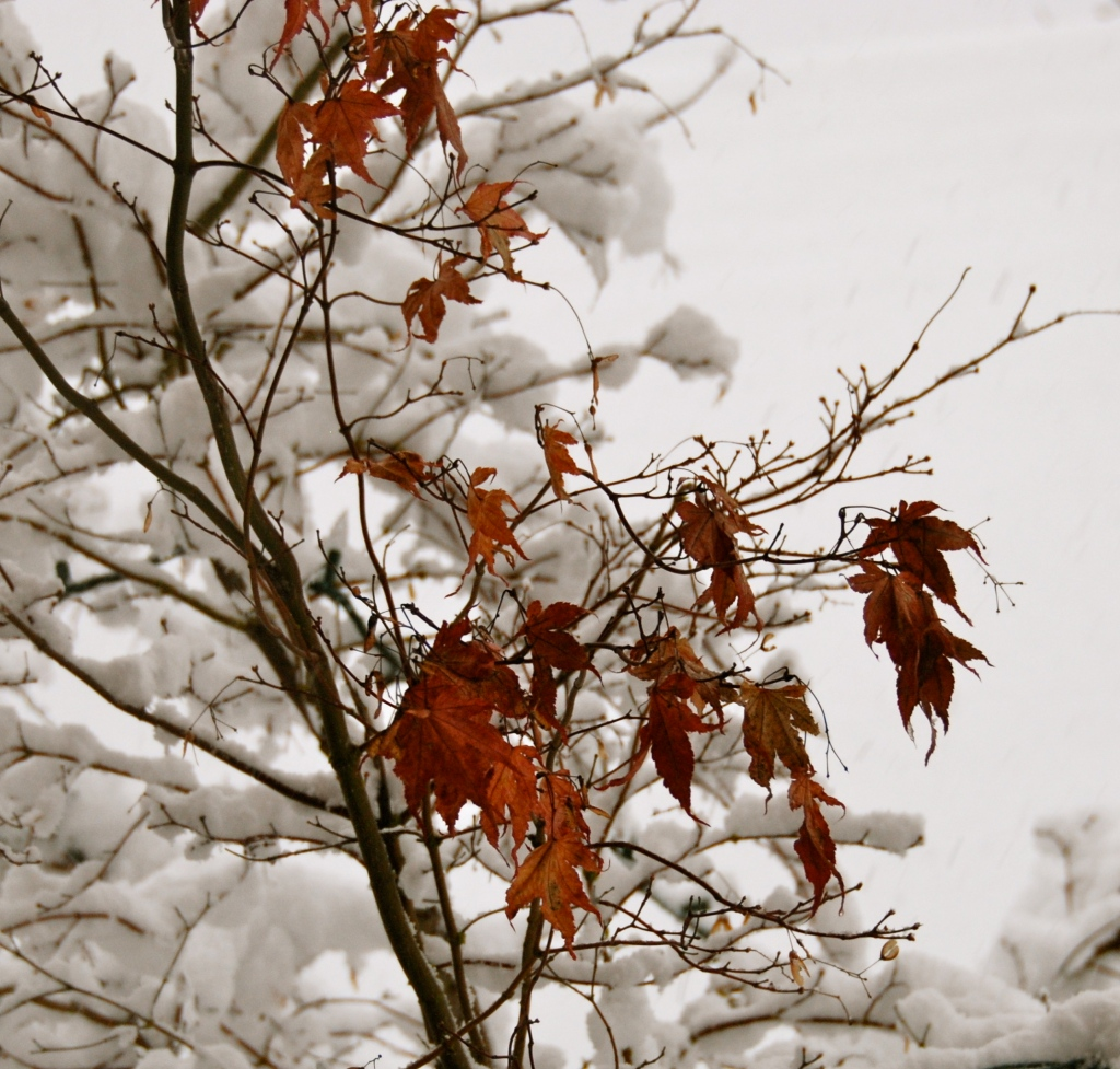 maple tree leaves in dead of winter