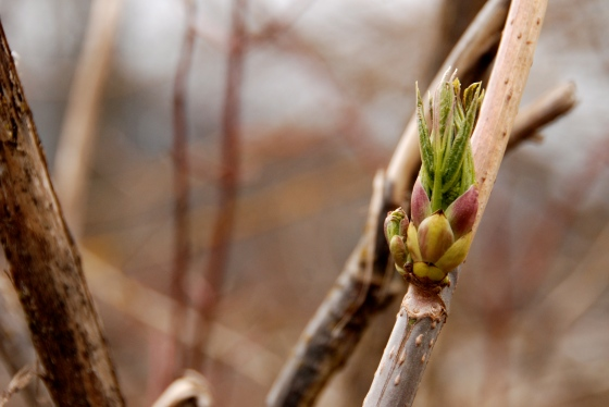photography, spring buds, whistler