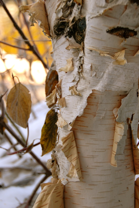 photography, whistler, nature, birch