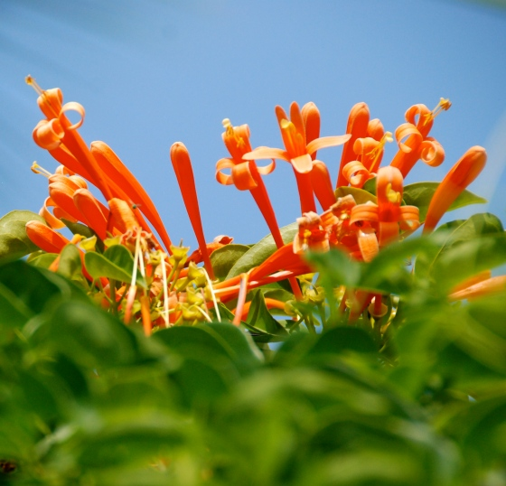 hawaii, nature,  orangeflower, photography