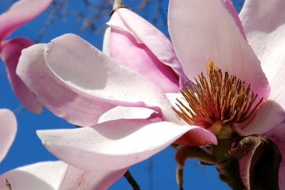 magnolia, photography, flower, pink, bloom,art